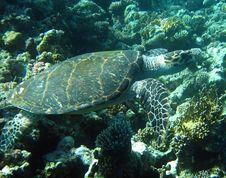 Free Hawksbill Turtle Royalty Free Stock Photo - 19708715