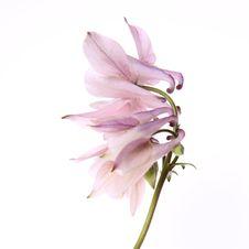 Columbine Flower Stock Photos