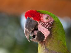 Free Macaw Closeup Royalty Free Stock Photography - 19709107