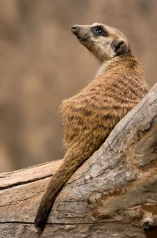 Free Mongoose Royalty Free Stock Image - 19709186
