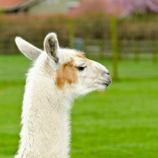 A Lama. Stock Photo