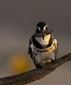 Free Pied Kingfisher Stock Photo - 19709250