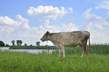 Free Sky Cow Royalty Free Stock Image - 19709886