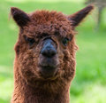 Free Portrait Of A Brown Llama (face) Royalty Free Stock Image - 19714726