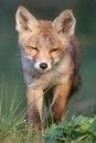 Free Red Fox Cub Stock Photos - 19715593