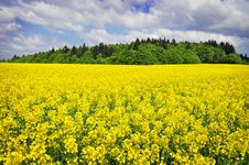 Free Rapeseed Field Landscape Royalty Free Stock Photos - 19710658