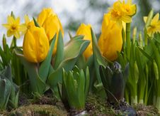 Yellow Tulips And Daffodils . Stock Image
