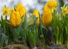 Yellow Tulips And Daffodils .