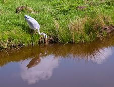 Free Grey Heron . Royalty Free Stock Photography - 19711157