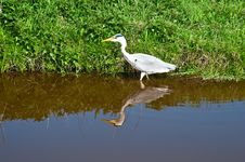 Free Grey Heron . Stock Images - 19711224