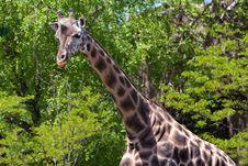 Free Giraffe Stock Images - 19711884
