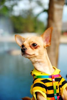 Chihuahua Dog Wearing Shirt Royalty Free Stock Photo