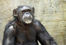 Free Chimpanzee Royalty Free Stock Photos - 19712618