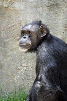 Free Chimpanzee Royalty Free Stock Photo - 19712635