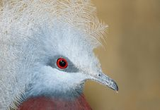 Free Crowned Pigeon Royalty Free Stock Photos - 19712698