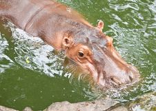 Free Hippopotamuses Royalty Free Stock Photo - 19712705