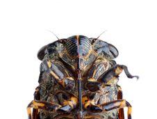 Free Cicada Stock Photo - 19712740