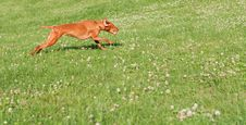 Vizsla Dog Running In The Grass Stock Image