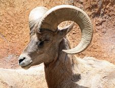 Free Bighorn Ram Royalty Free Stock Photos - 19712858