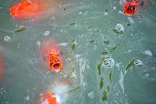 Free Orange Carp Royalty Free Stock Image - 19713556