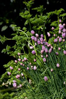 Free Chive Blossums With Parsley Stock Image - 19713721
