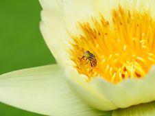 Free Bee And Flower Stock Image - 19713851