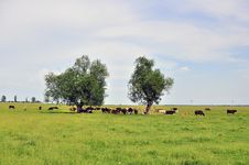 Free Still Cow Herd Stock Image - 19713961
