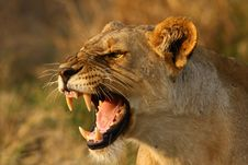 Free Lioness Stock Photography - 19714272