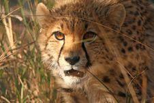 Free Cheetah Cub Stock Images - 19714454