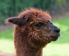 Free Portrait Of A Brown Llama (profile) Stock Photos - 19714753