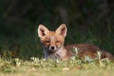 Free Red Fox Cub Stock Photo - 19715290