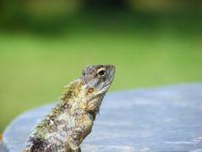 Free Green Lizard Stock Image - 19715391