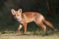 Free Red Fox Cub Royalty Free Stock Photo - 19715455