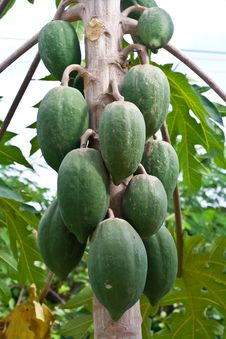 Green Papayas On Tree Royalty Free Stock Photography