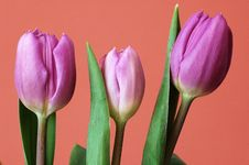 Free Tulips Royalty Free Stock Photography - 19717147