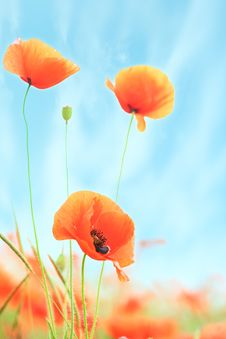 Free Poppies On Green Field Stock Photo - 19717240