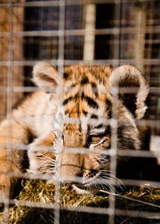 Little Striped Tiger Cubs In A Cage Royalty Free Stock Images