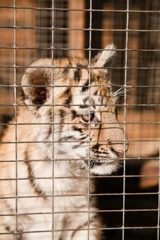 Helpless  Tiger Cubs In A Cage Stock Photos