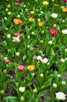 Free Colorful Tulips . Royalty Free Stock Image - 19719456