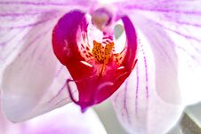 Free Flower Orchid Falenopsis Macro Close-up Stock Photography - 197106962