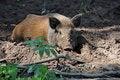 Free Wild Wild Boar Stock Image - 19722271
