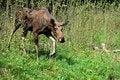 Free Elk Royalty Free Stock Photos - 19722358