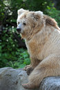Free Brown Bear Stock Photography - 19722572