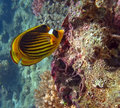 Free Diagonal Butterflyfish Royalty Free Stock Photography - 19724377