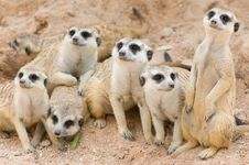 Free Meerkats Stock Photo - 19720810