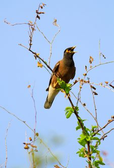 Free Common Myna Royalty Free Stock Image - 19720826