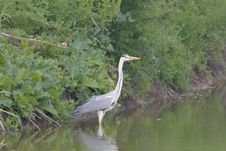 Free Grey Heron - Ardea Cinerea Stock Images - 19720864