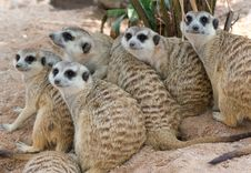 Free Meerkats Royalty Free Stock Photos - 19721138