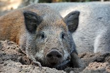 Free Wild Wild Boar Stock Photos - 19722313