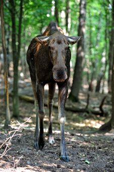 Free Elk Stock Photo - 19722330